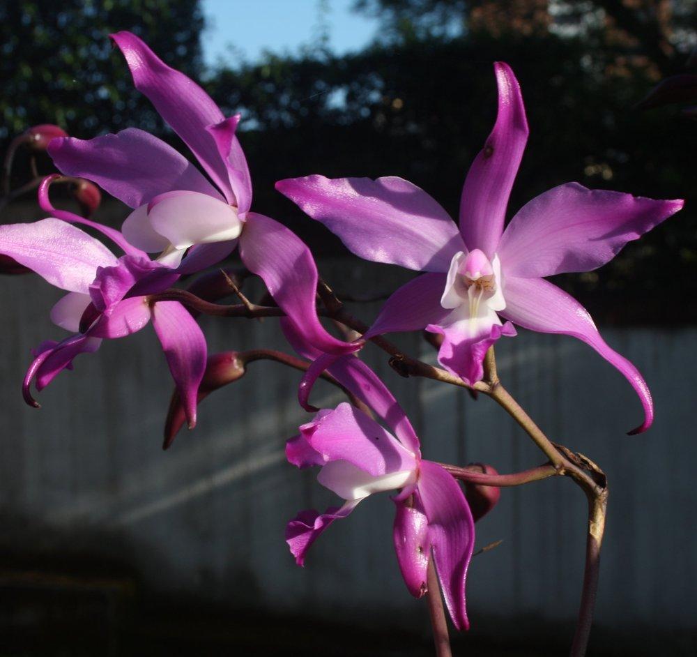 Laelia autumnalis  October 2009