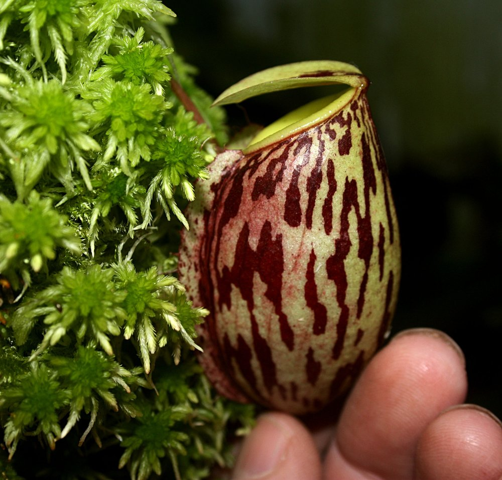Nepenthes glabrata  lower pitcher July 2011