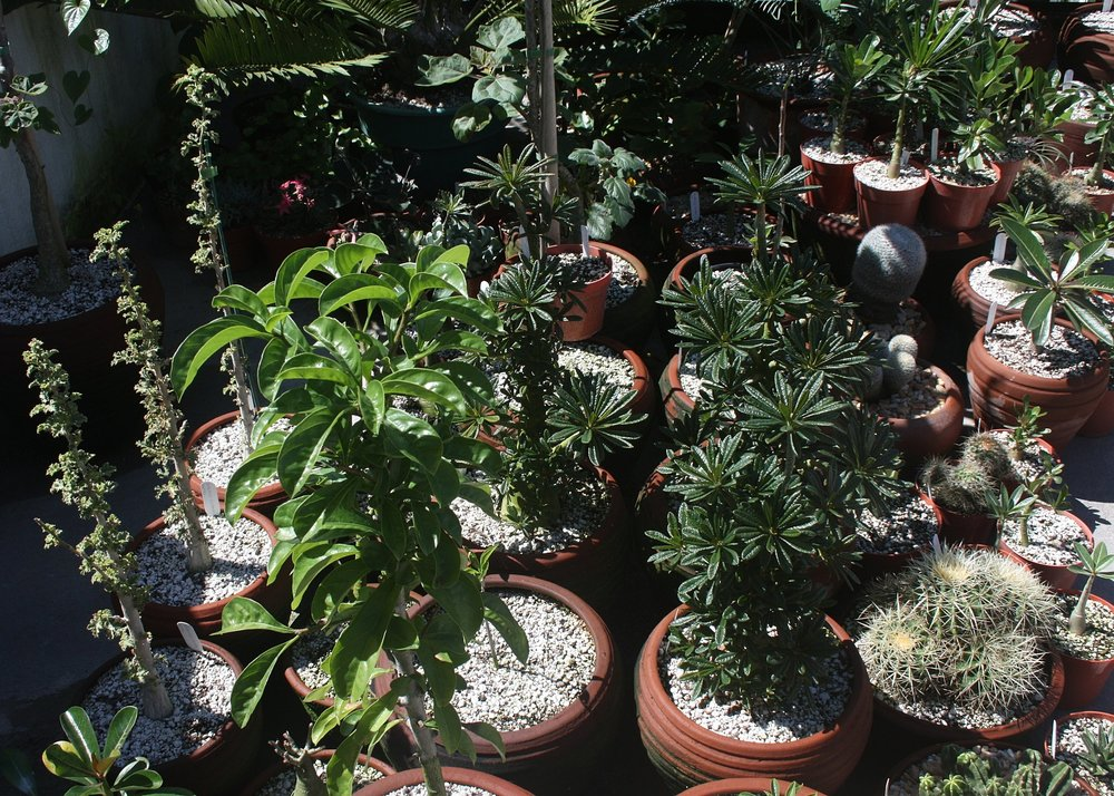 """Partial view of stem succulent collection, mostly Socotran and Malagasy species with a """"touch of cactus"""" also visible, showing high percentage of pumice in potting mix, end of a brutal ~70""""/2 m rainy season - November 2009"""