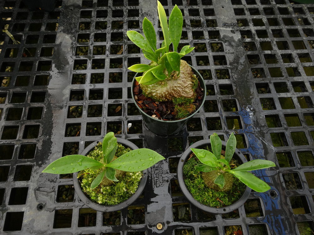 "Two young examples of the ""wet tropics"" northern form growing in sphagnum moss in hanging baskets, compared to a two year-old intermediate form in pot with bark mix. California tropical greenhouse"