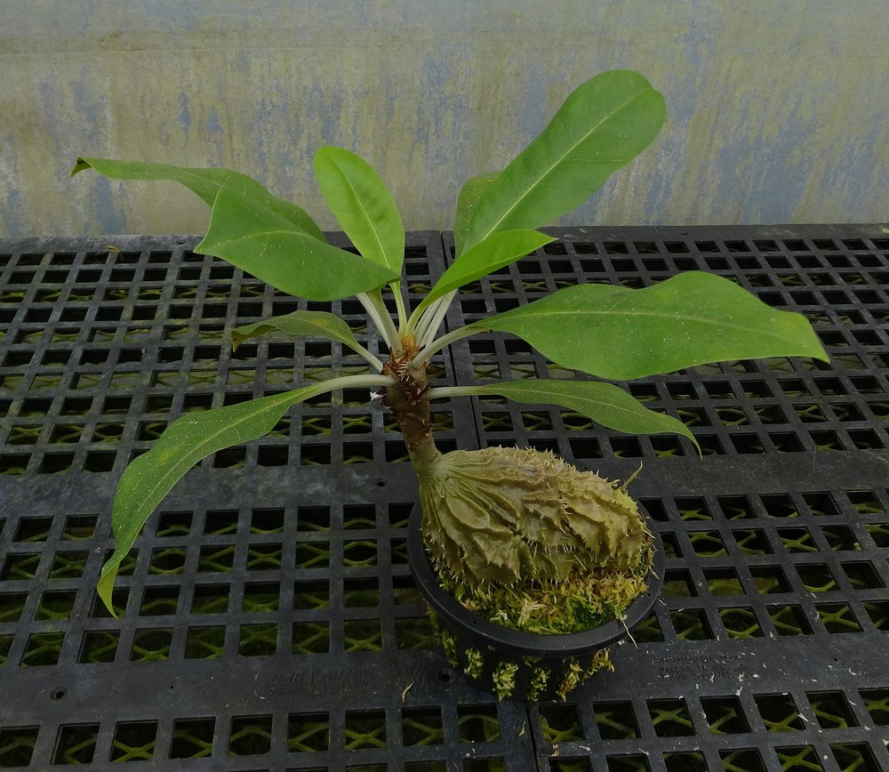 "Three year-old seed grown  Myrmecodia tuberosa ""bracteata""  growing in a 6""/15 cm basket in a California greenhouse. This is ostensibly a direct descendant of Michael Madison' Sarawak collection accessioned by Selby under #1978-0089, made four decades ago, and that has entered the trade as both HBG #51501 and Tropiflora #3757"