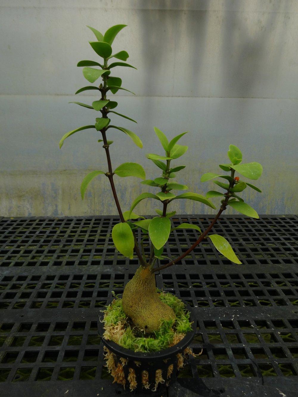 "Young mature Hydnophytum cf. moseleyanum ""Dark Caudex"" ex-UC Davis BC"