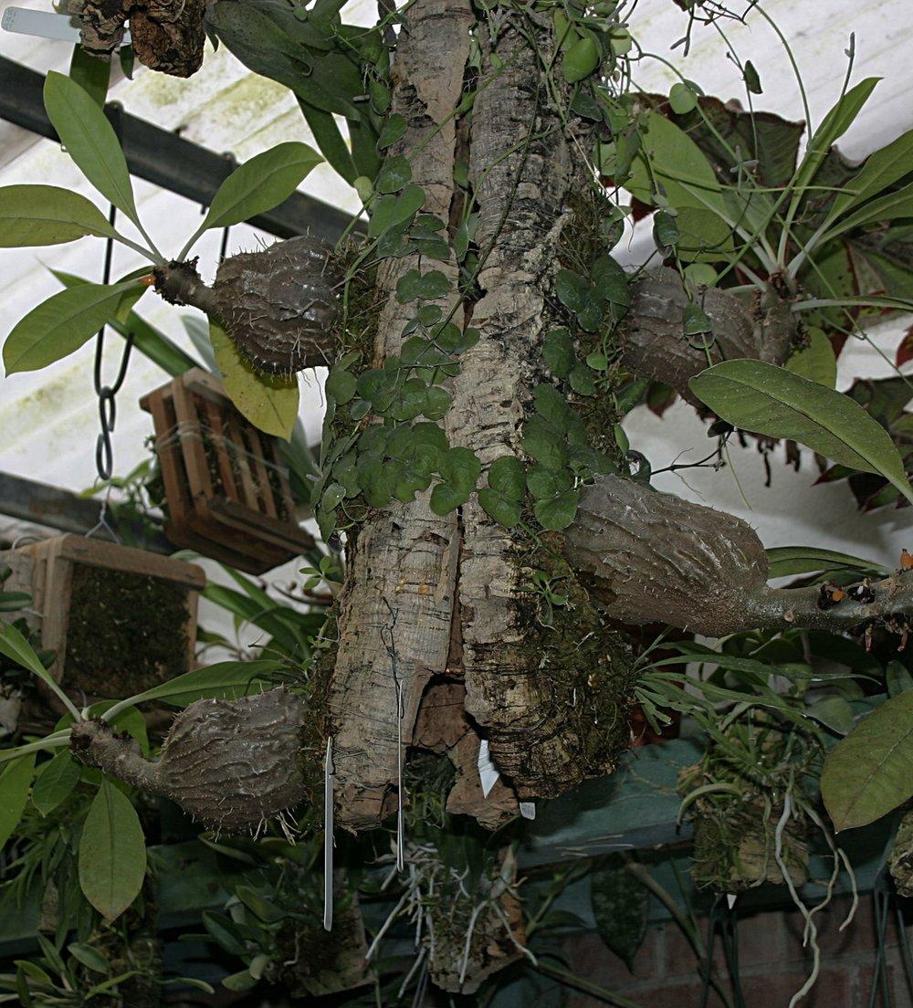 Myrmecodia tuberosa Bako NP.jpg