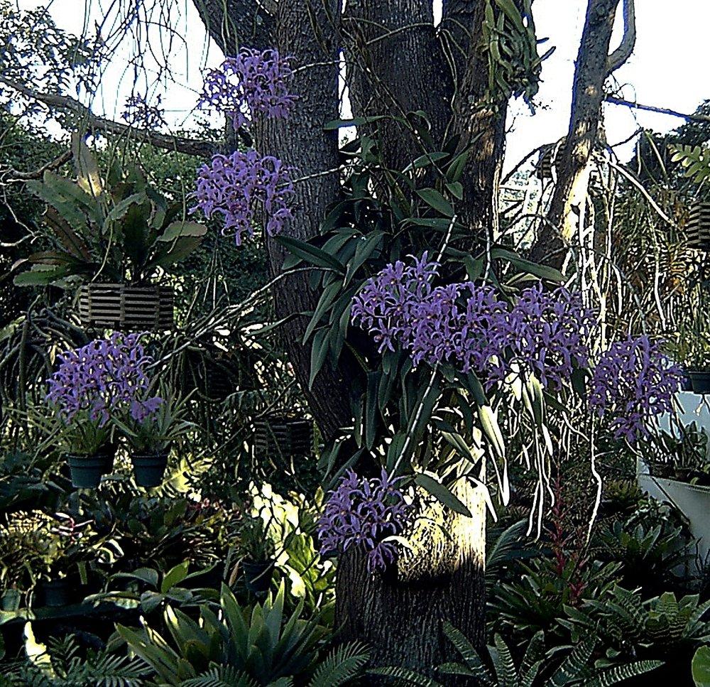 Laelia superbiens  September 2002
