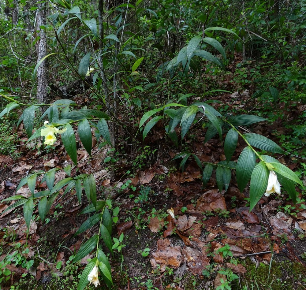 Mature, flowering  Sobralia xantholeuca  in pine-oak forest, Baja Verapaz, Guatemala