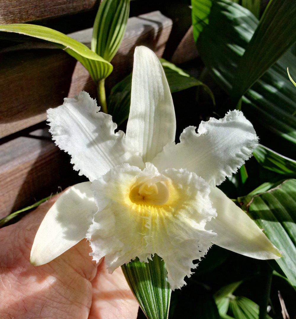 Sobralia fimbriata  complex hybrid in outdoors cultivation in California