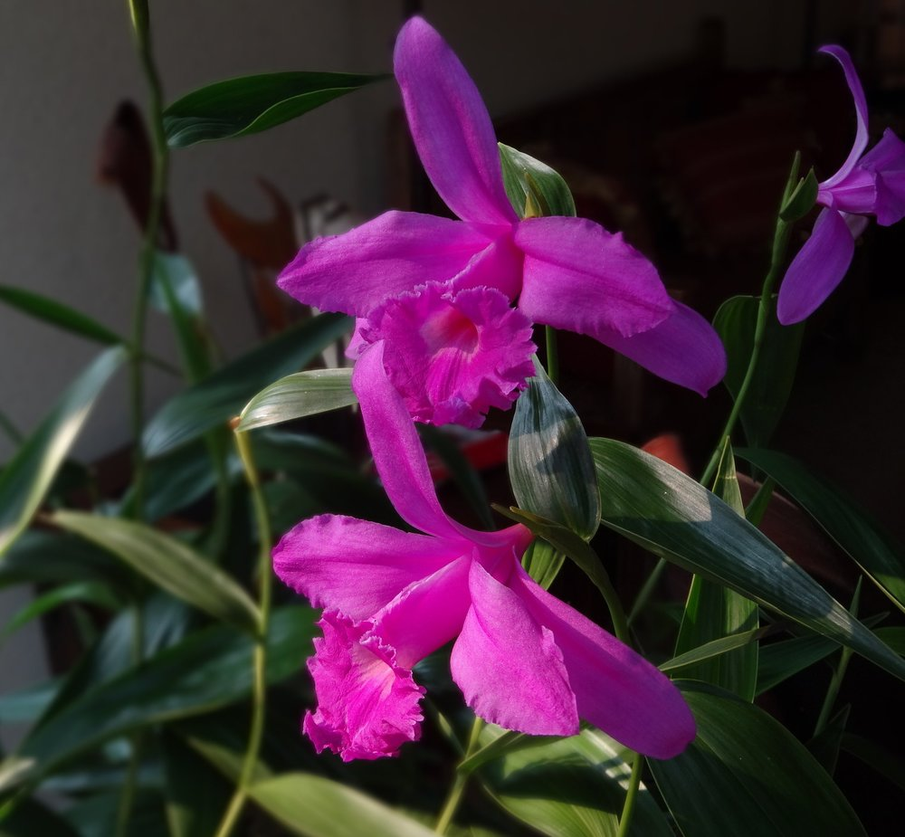 Sobralia andreae  in year-round cultivation as a pot plant indoors in California.