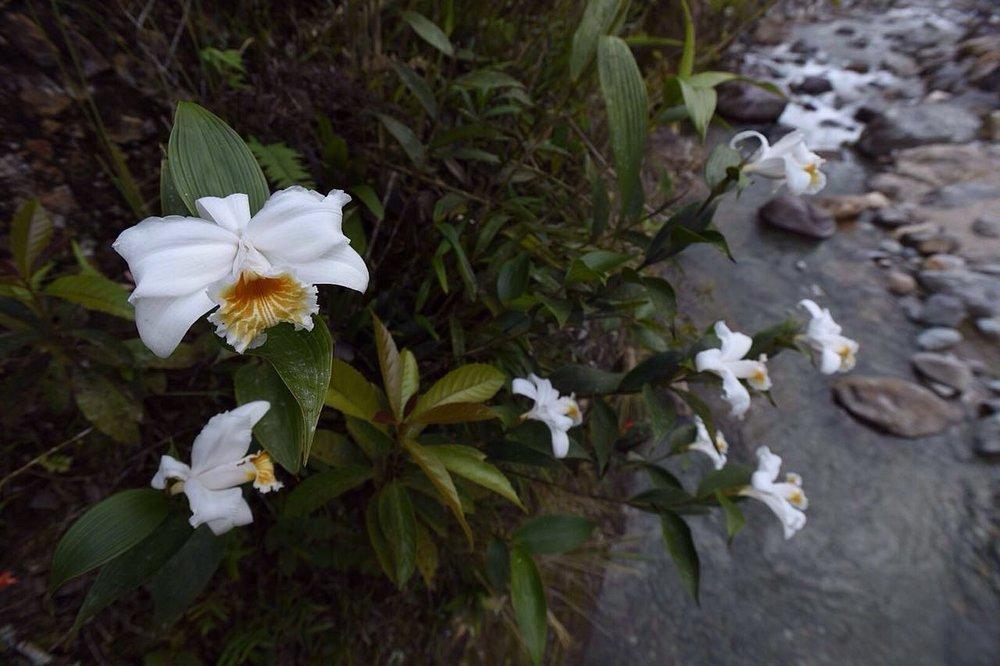 Sobralia cf. chrysostoma , tropical rainforest, Atlántida, Honduras (Image: F. Muller)