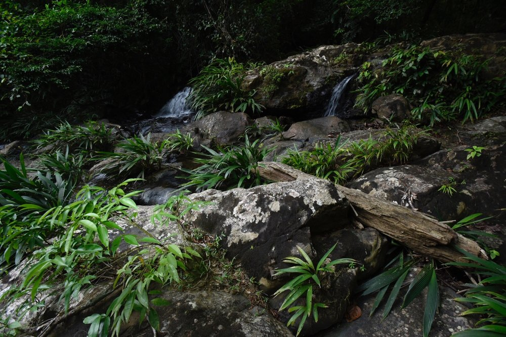 The widespread Costa Rican and Panamanian  Dicranopygium wedelii  is a commonly-encountered rheophytic cyclanth in regional streams at lower and middle elevations along the Caribbean foothills. This species is relatively easy in cultivation. (Image F. Muller).