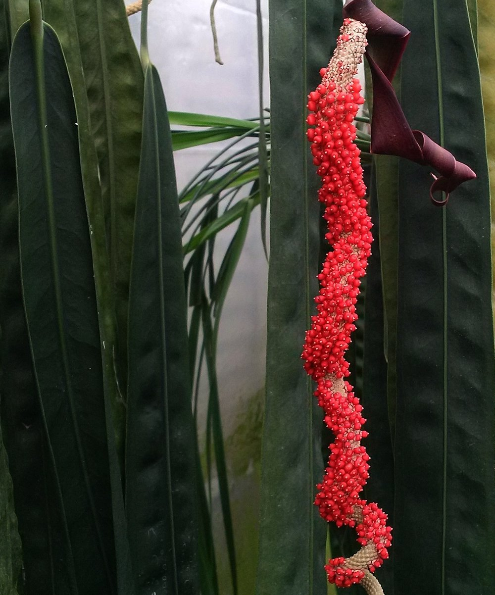 Anthurium wendlingeri infl..jpg