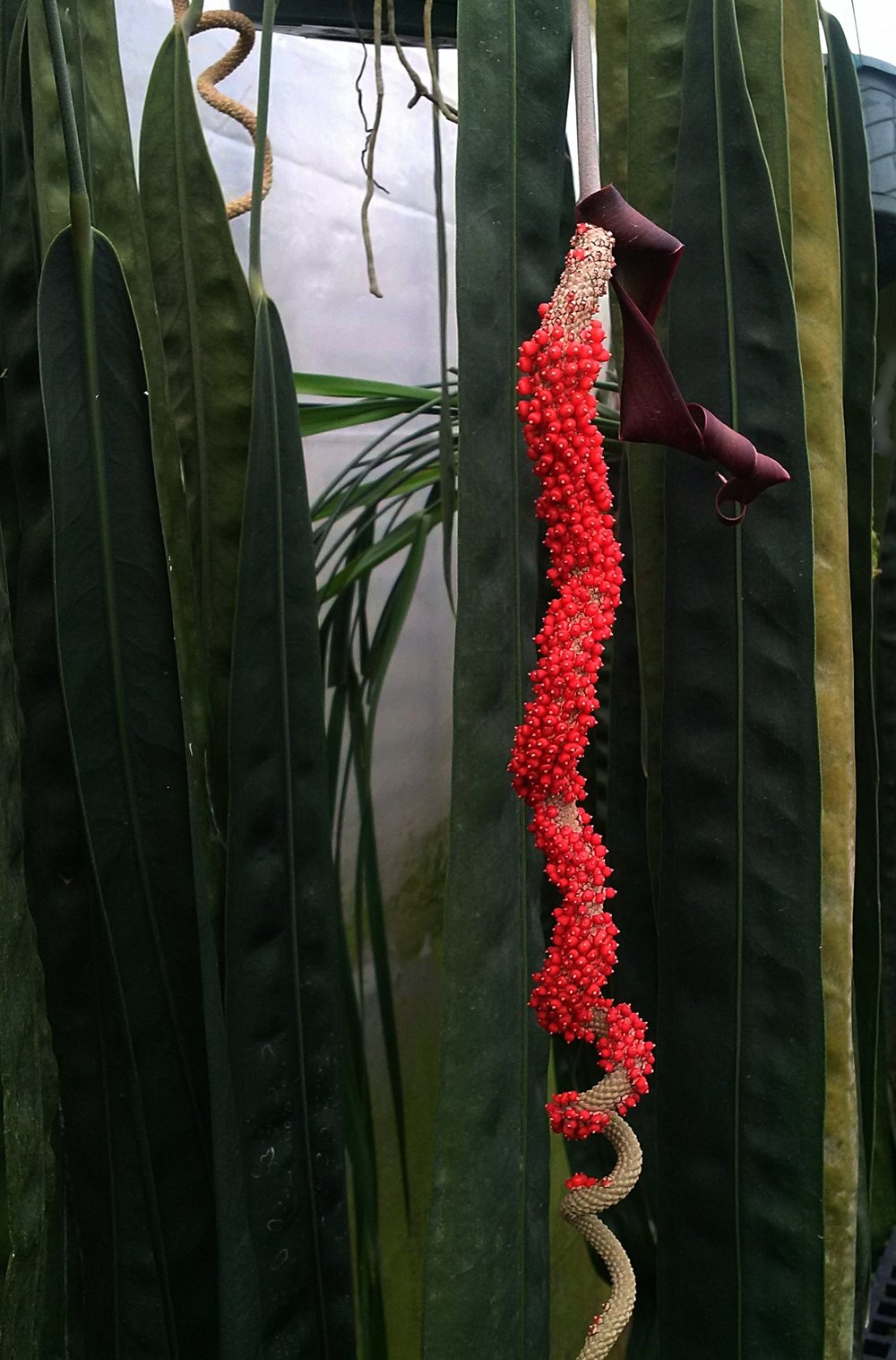 """Fully ripened fruits on >24""""/60 cm infructescence on a mature F1  Anthurium wendlingeri  in California"""