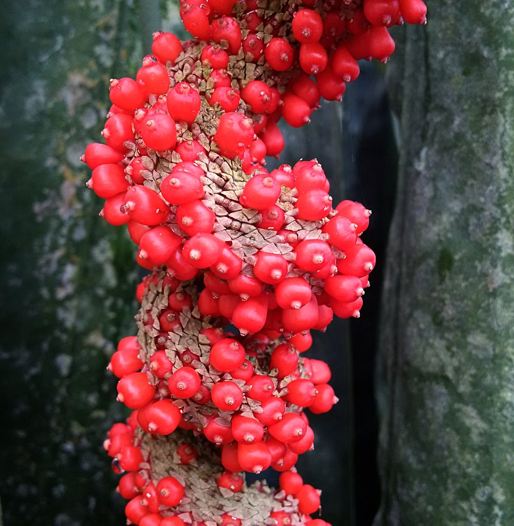 Fully ripe fruits being extruded from the infructescence