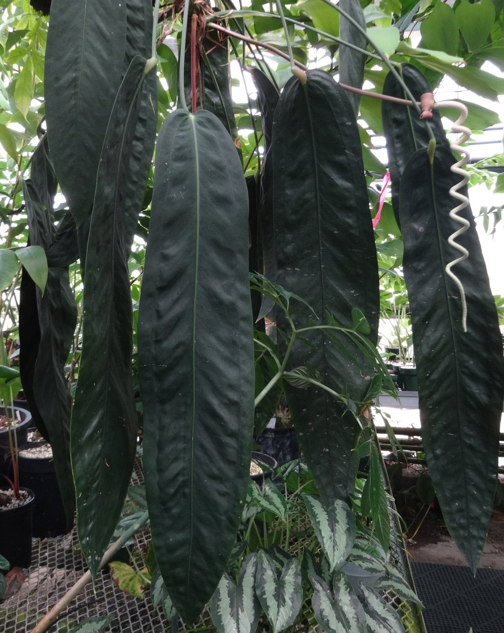 An exceptional example of the very wide, rather short-leaf ecotype from premontane forest on Cerro Tute, Veraguas, Panamá grown by Dylan Hannon at the Huntington Botanical Garden in California.