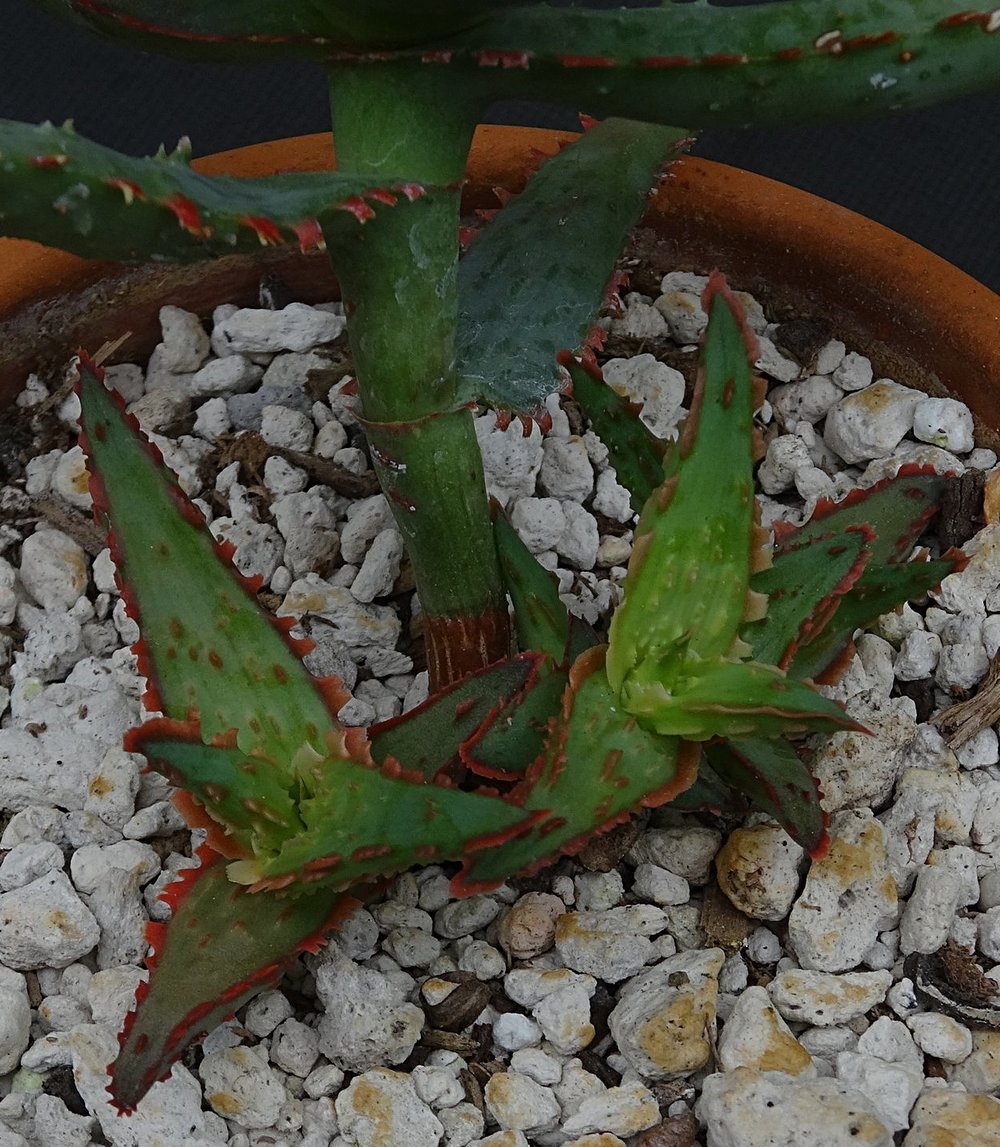Aloe  cv. 'Dracula's Blood' offsetting vigorously on a cutting-grown young plant.