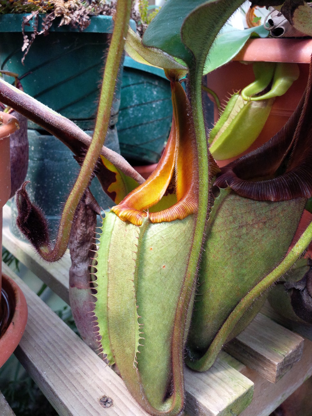 "Nepenthes veitchii , lowland ""Gold Peristome"" form, grown in Guatemala."