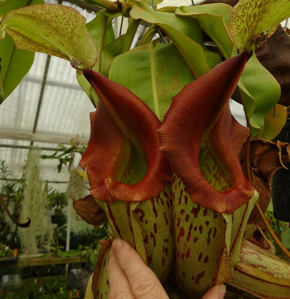 A stunning pair of  N . x Tiveyi intermediate pitchers. Grown by Josh Brown of Predatory Plants.