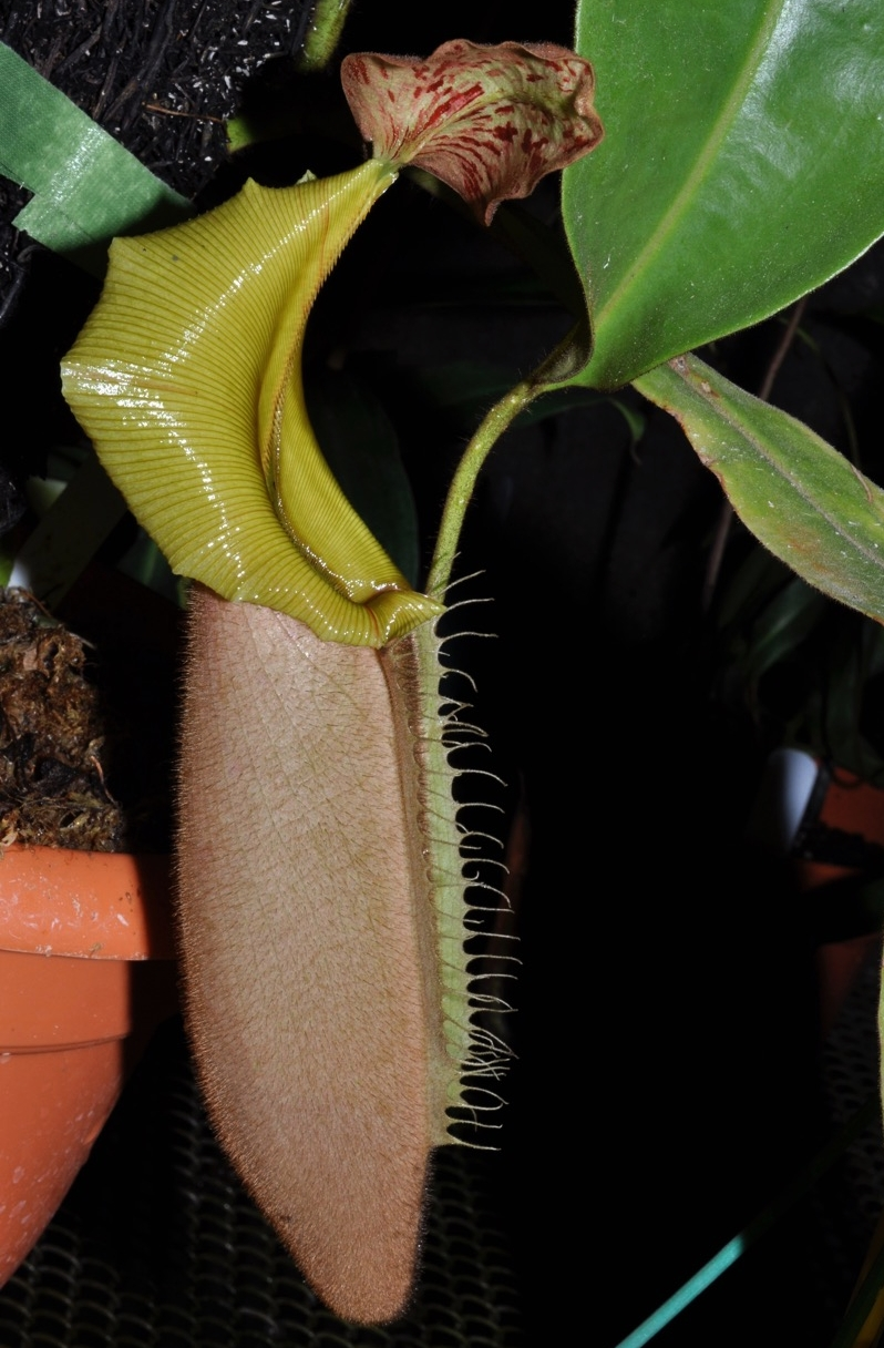 "Nepenthes veitchii , epiphytic form/""green peristome"" being grown in Guatemala. Image: Peter Rockstroh."
