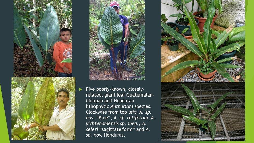 Guatemalan Anthurium slide JPG.jpg