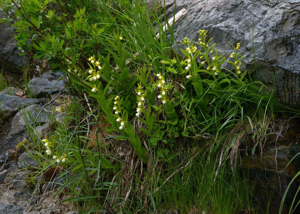 Cypripedium californicum  colony, Plumas County, California (Image: R. Parsons).