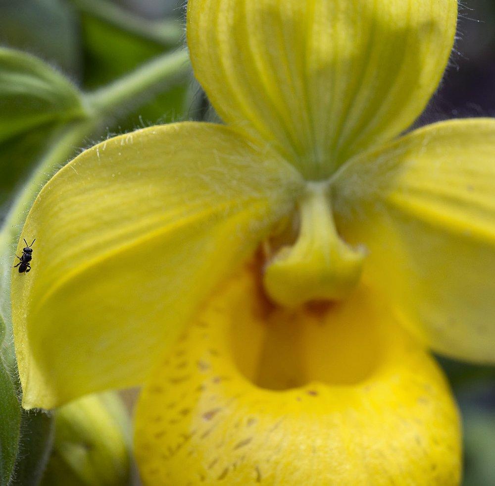 Trigonisca   sp . bee pollinator on wild  Cypripedium irapeanum  in Guatemala (Image: F. Muller)