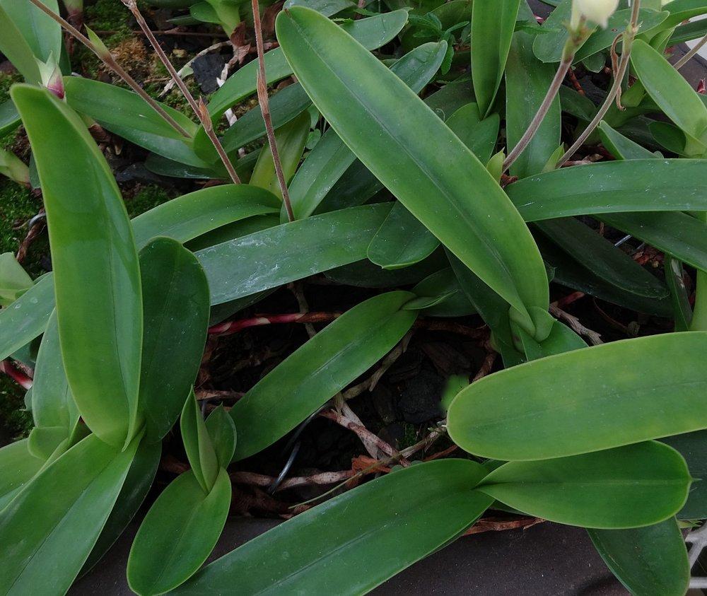 Mexipedium xerophyticum  specimen plant cultivated in California (Grower: Z. Zhou).
