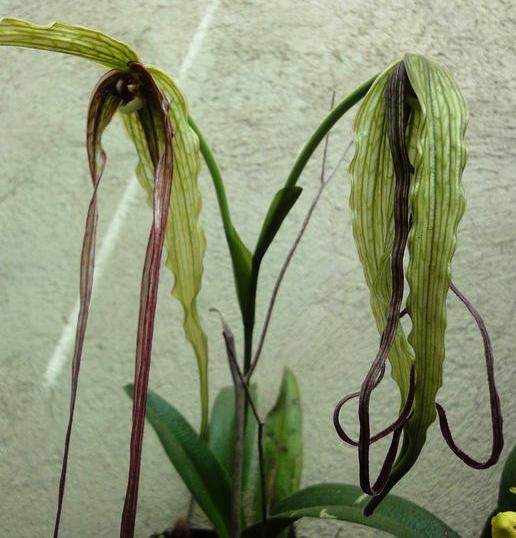 A peloric/pouchless  Phragmipedium humboldtii  from central Guatemala (Image: E. Ramos Bamaca, courtesy of E.A. Mó).