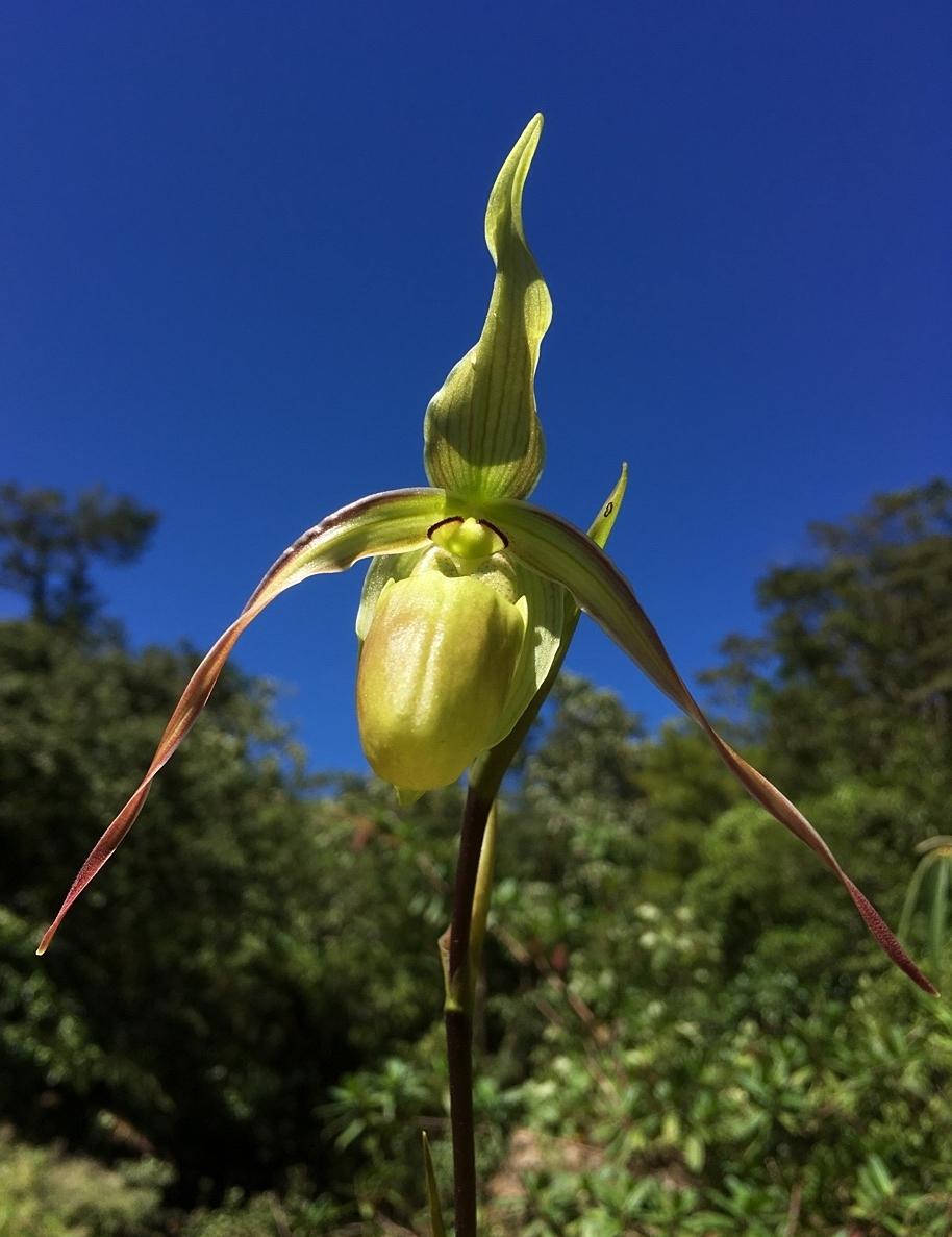 Phragmipedium longifolium  terminal flower, Veraguas Province, Panamá (Image: F. Muller).
