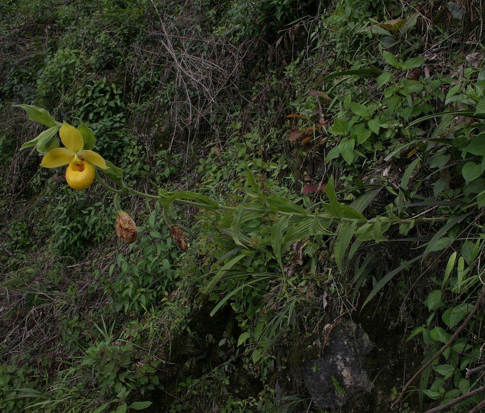 A doomed mature roadside  Cypripedium irapeanum , Alta Verapaz Department, Guatemala.