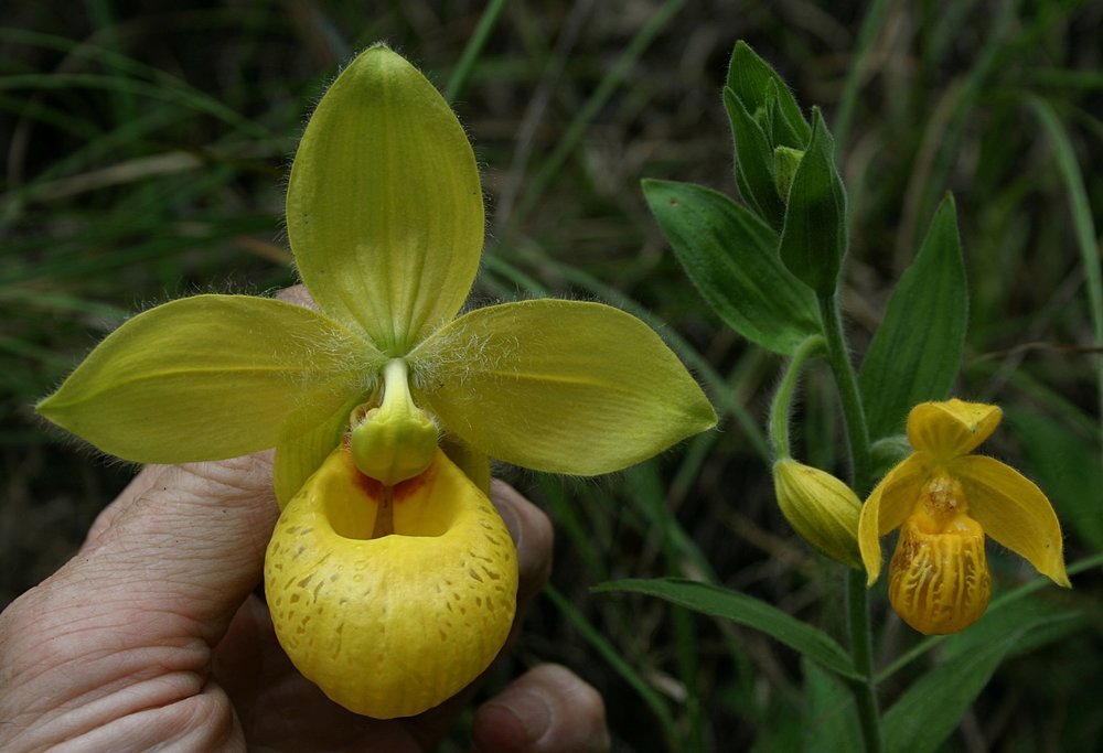 Comparative sizes of flowers of  Cypripedium irapeanum  (left) and  C. dickinsonianum  (right) occurring in immediate sympatry, Alta Verapaz Department, Guatemala.July 2008.