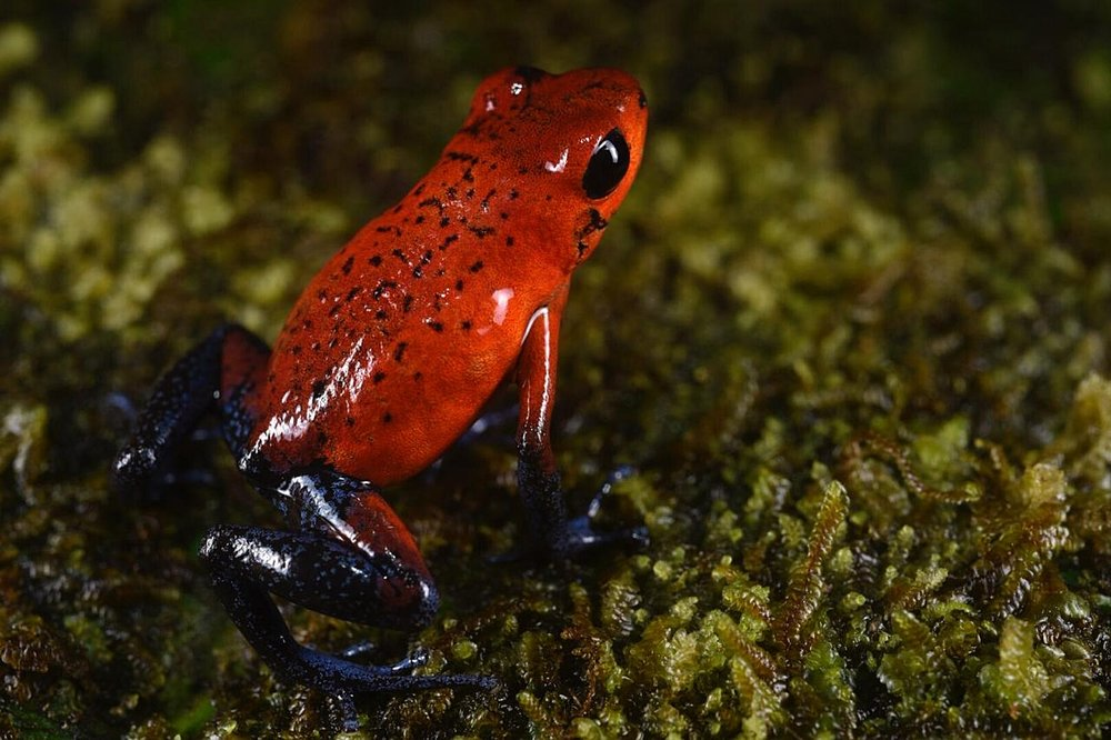 "Oophaga pumilio  - classic ""blue jeans"" strawberry poison frog, Limón Province, Costa Rica (Image: F. Muller)."
