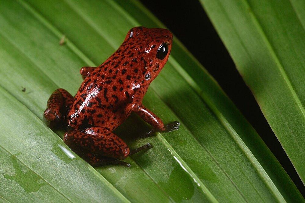 "Oophaga pumilio , ""strawberry morph"", Limón Province, Costa Rica (Image: F. Muller)."