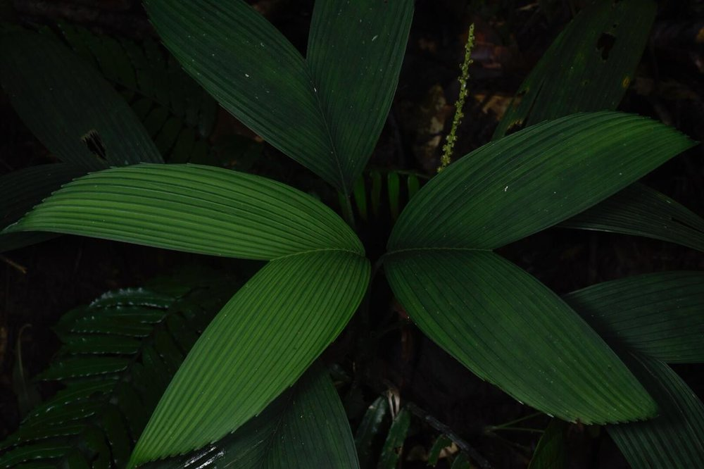 Chamaedorea palmeriana  in cloud forest Limón Province, Costa Rica (Image: F. Muller).