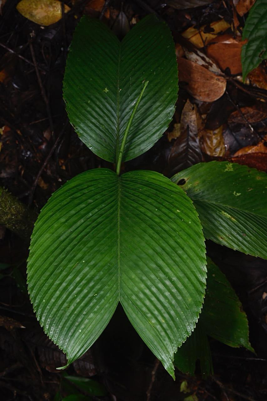 Leaf detail,  Chamaedorea amabilis , Limón Province (Image: F. Muller).