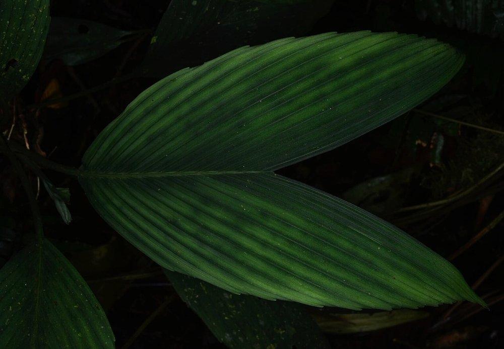 Chamaedorea cf. sullivaniorum  leaf detail, Costa Rica (Image: F. Muller).