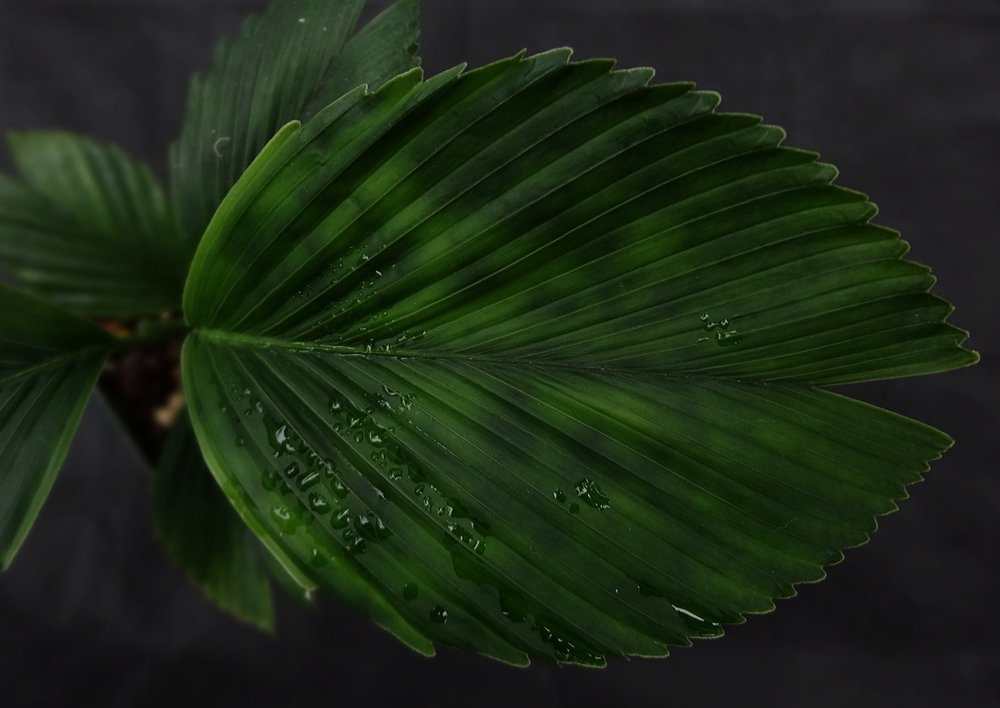 Chamaedorea tuerckheimii , leaf detail northeastern form from Veracruz, México. Author's collection in California.