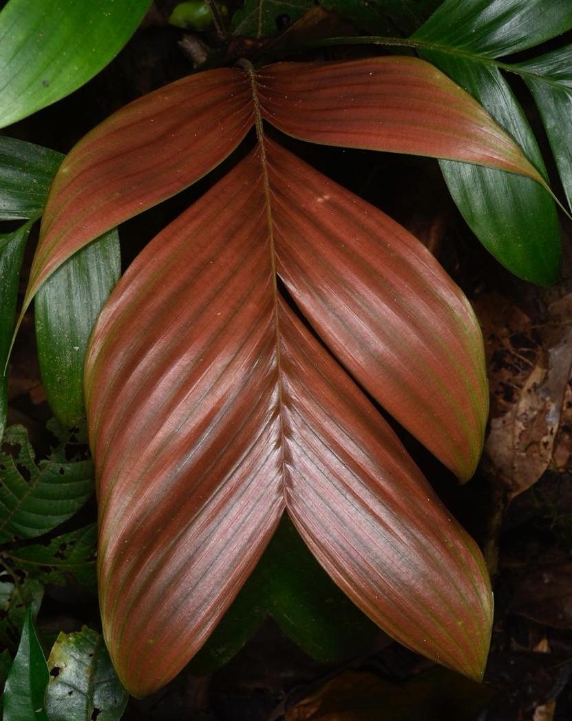 Geonoma sp ., emergent leaf. Lowland rainforest, Limón Province, Costa Rica (Image: F. Muller).