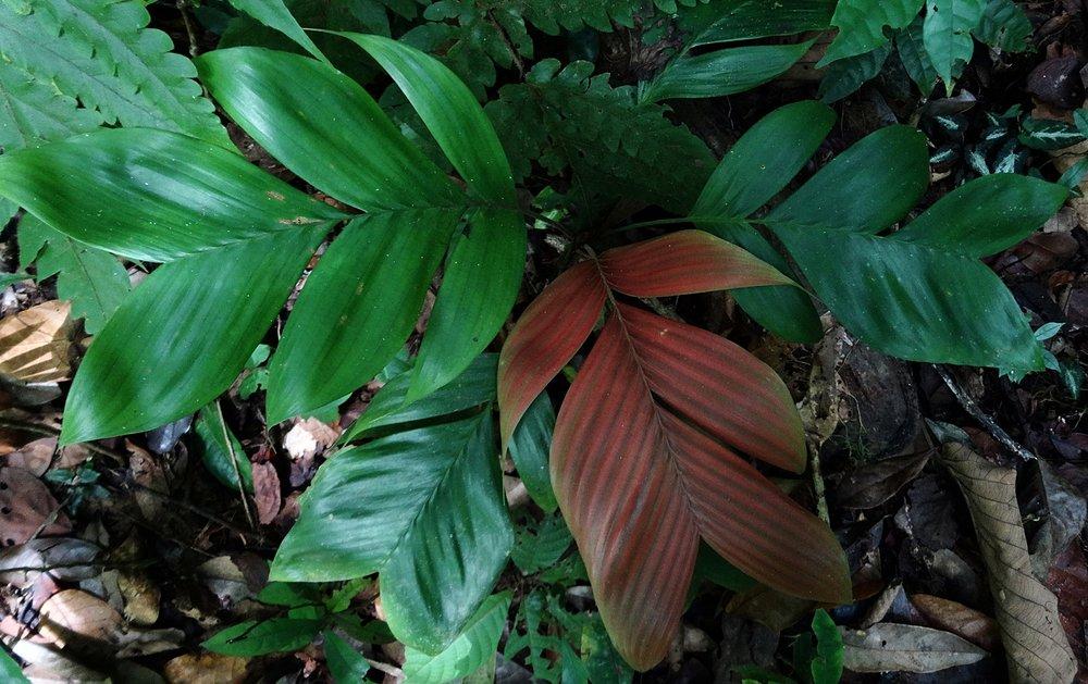 Geonoma sp.  (aff.  chococola ?), lowland rainforest, Limón Province, Costa Rica.