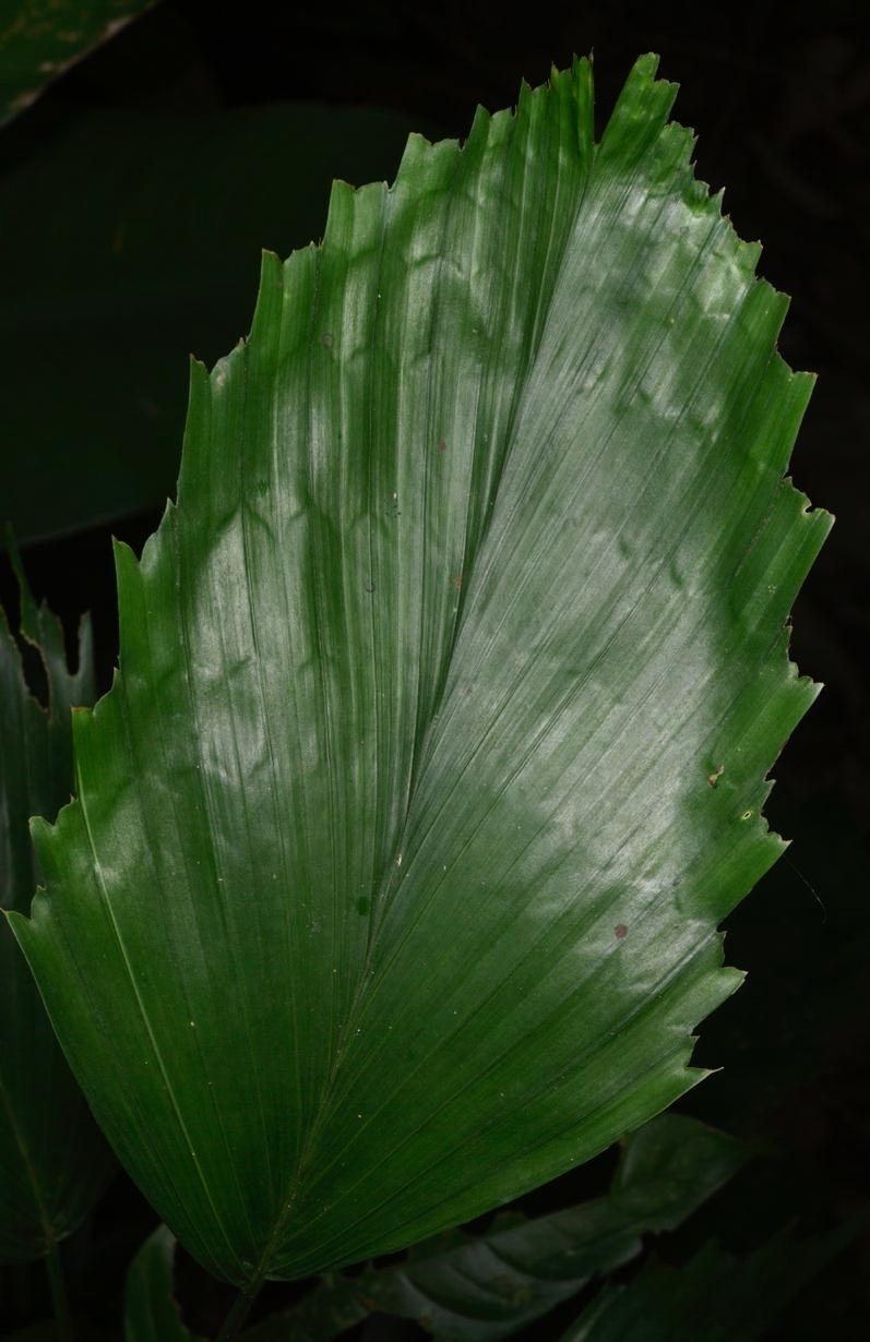 Leaf detail,  Reinhardtia simplex,  Limón Province, Costa Rica (Image: F. Muller).