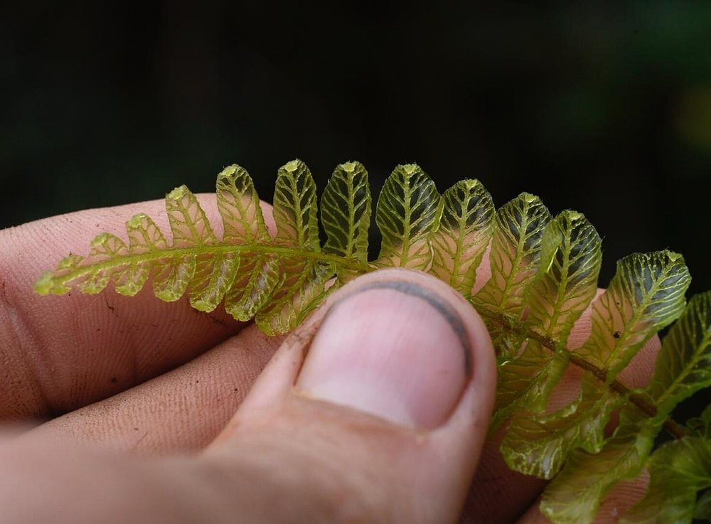 Newly-emerged frond of perhaps on of the most remarkable species of bristled filmy ferns ( Trichomanes  species), Panamá Province, Panamá (Image: F. Muller).