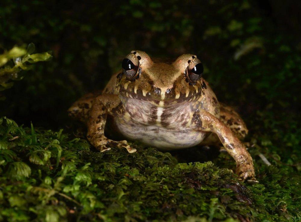NOID cloud forest robber frog ( Craugaster sp .), Puntarenas Province, Costa Rica (Image: F. Muller).