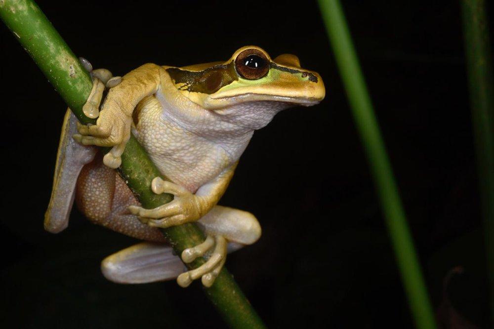 Masked tree frog ( Smilisca phaeota ), Limón Province Costa Rica (Image: F. Muller).