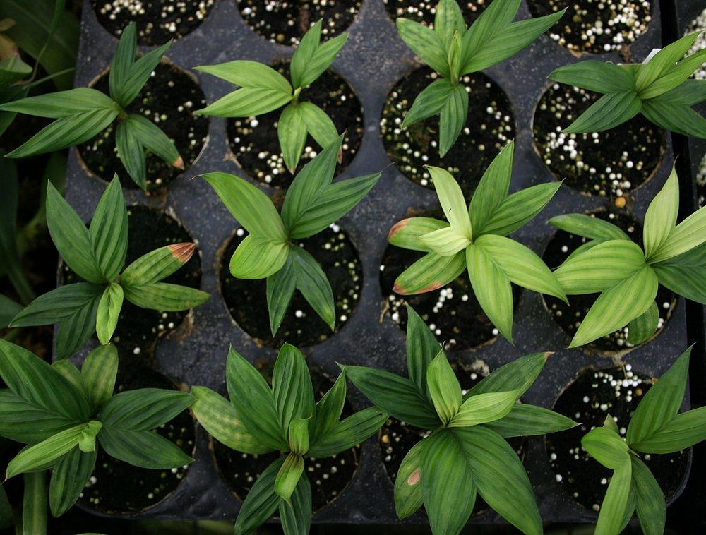 Eighteen month-old F1  Geonoma epetiolata  seedlings growing in soil-less media, Guatemala.