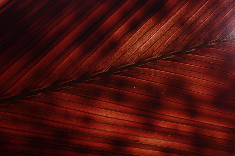 Emerging leaf detail on mature wild stained glass palm,  Geonoma epetiolata , Costa Rica (Image F. Muller).