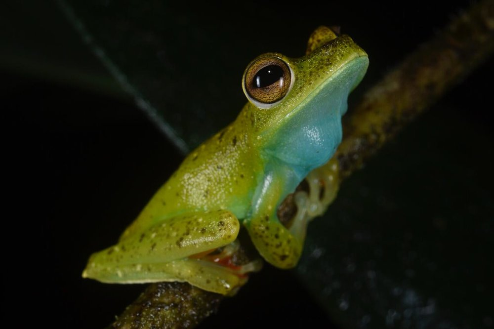 "Canal Zone tree frog ( Hypsiboa rufitelus ) feeling a bit ""blue"" (Image: F. Muller)."