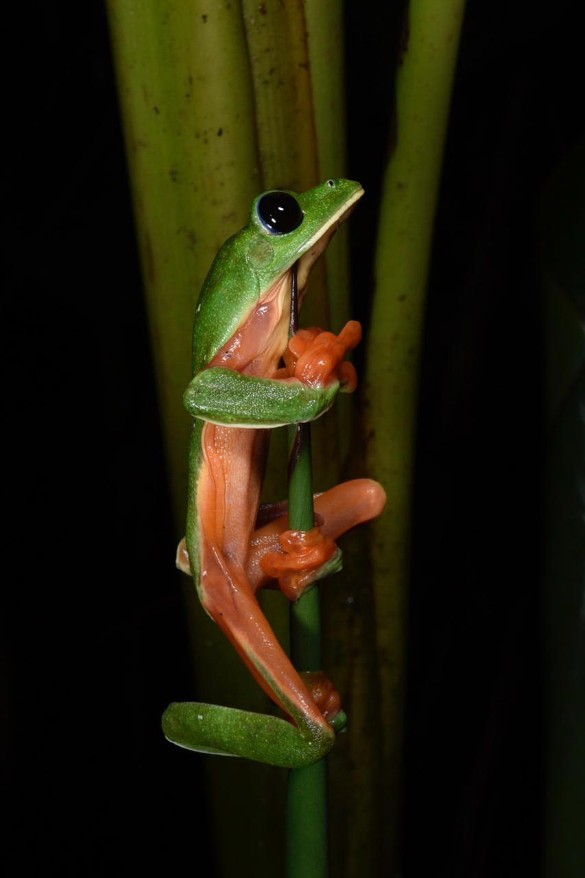 Black-eyed tree frog ( Agalychnis moreletii ), Honduras (Image: F. Muller).