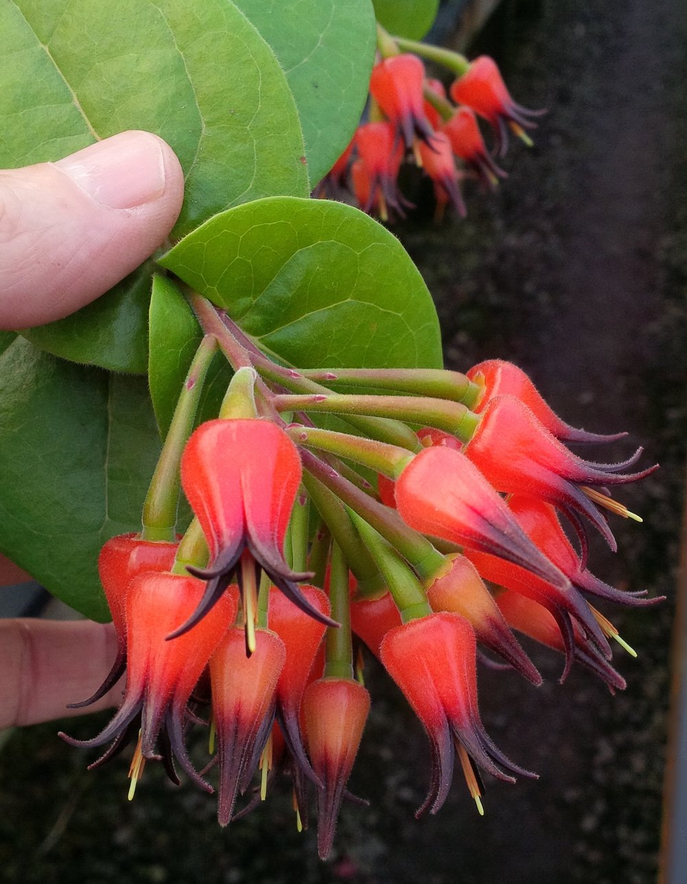 Flower detail,  Ceratostema amplexicaule , California greenhouse. This species can be trained as an upright shrub and flowers almost year-round when mature. Both flowers and fruit are edible in this species.