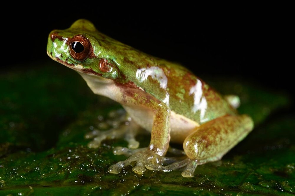 Isthmohyla sp ., Chiriquí Province, Panamá (Image: F. Muller).