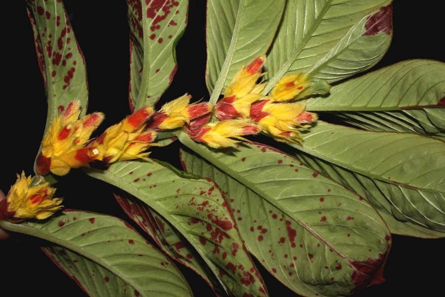 Columnea cf. schimpffii , a beautiful Ecuadoran species in cultivation in Guatemala.