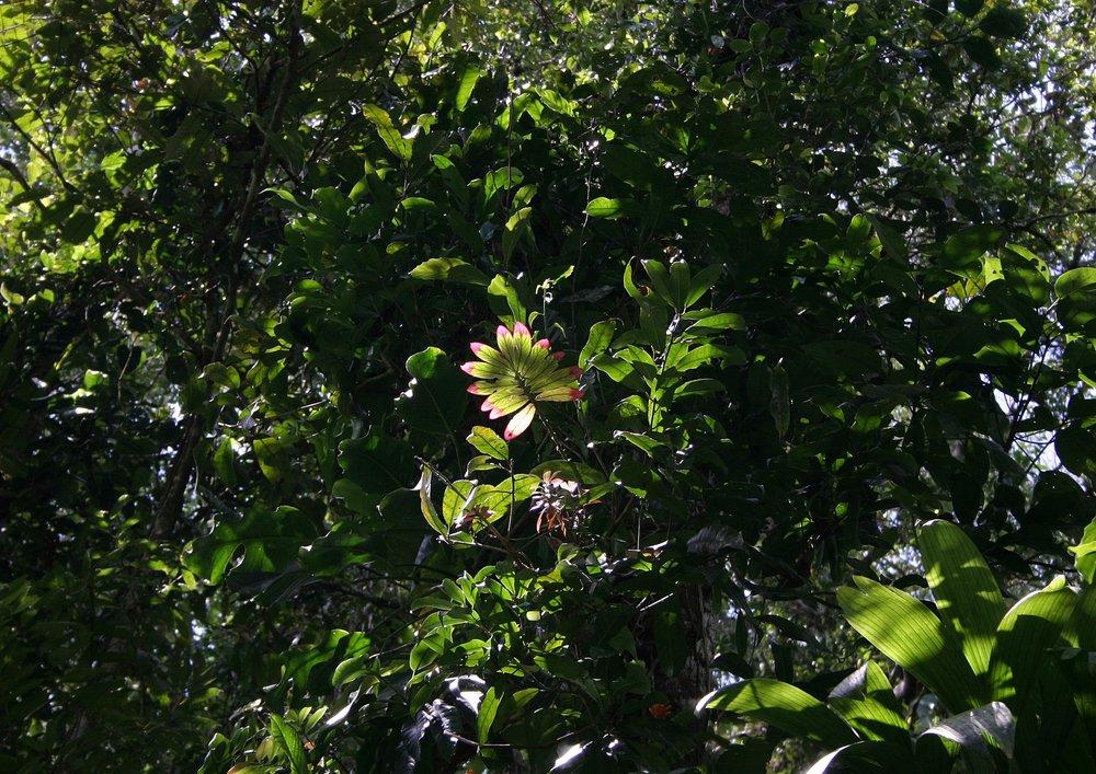 Columnea zebrina  viewed from below, growing in high canopy, lowland tropical rainforest, Comarca de Guna Yala, Panamá.