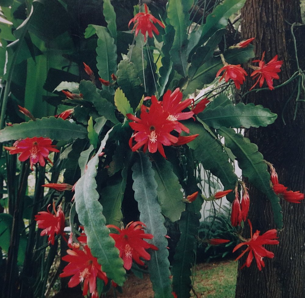 Disocactus ackermannii ssp. ackermannii  flowering in my collection in Guatemala, late 1990s (scan from print).